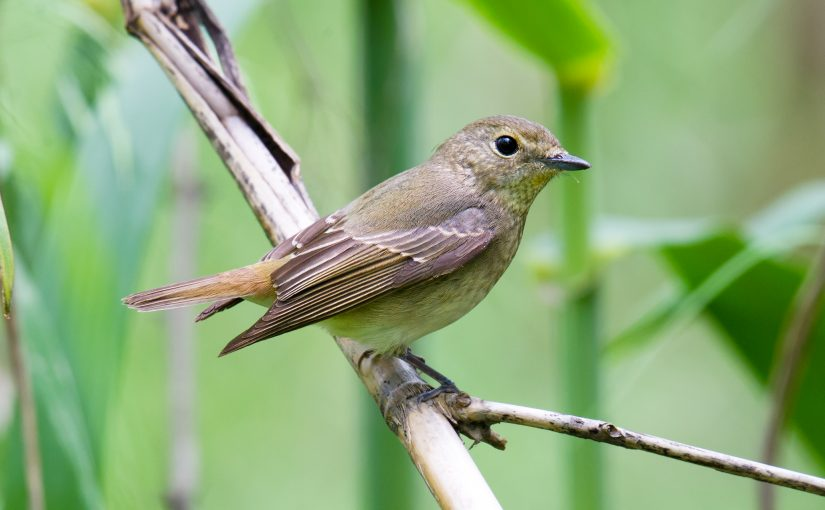 I'm Skeptical About Claims of Green-backed Flycatcher in Shanghai