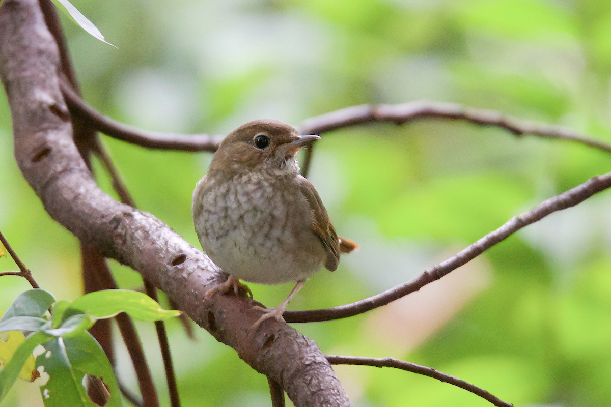 Rufous-tailed Robin made a rare foray out of the undergrowth to look at us. (Komatsu Yasuhiko)