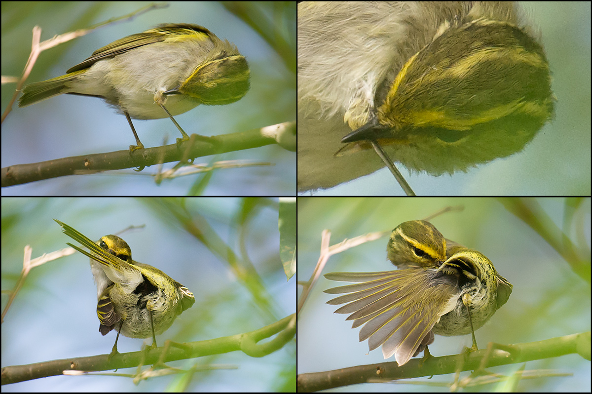 Pallas's Leaf Warbler preening itself after completing another leg of its long migratory flight. Nanhui, 11 Oct. 2016.