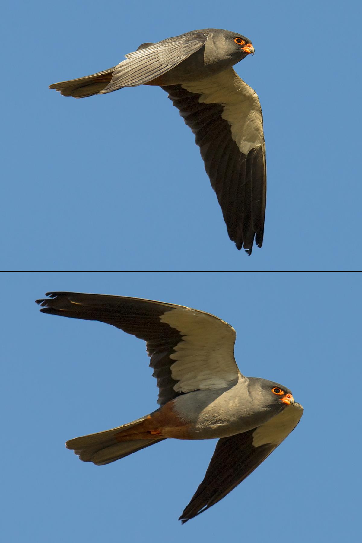 Male Amur Falcon at Zhalong, 5 May 2013. (Craig Brelsford)