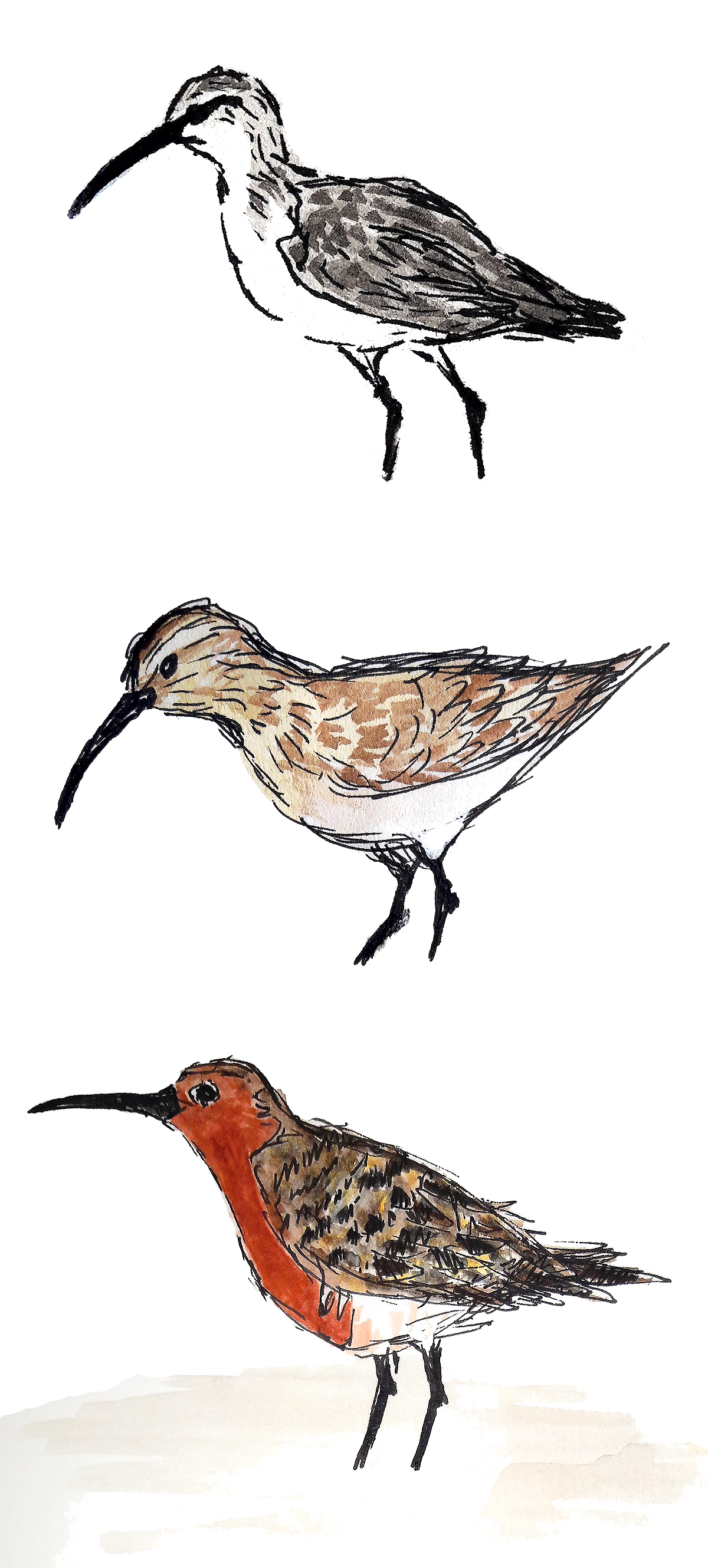 Curlew Sandpiper Calidris ferruginea in winter plumage (top), assuming breeding plumage (middle) and in full breeding plumage (bottom). (Louis-Jean Germain)