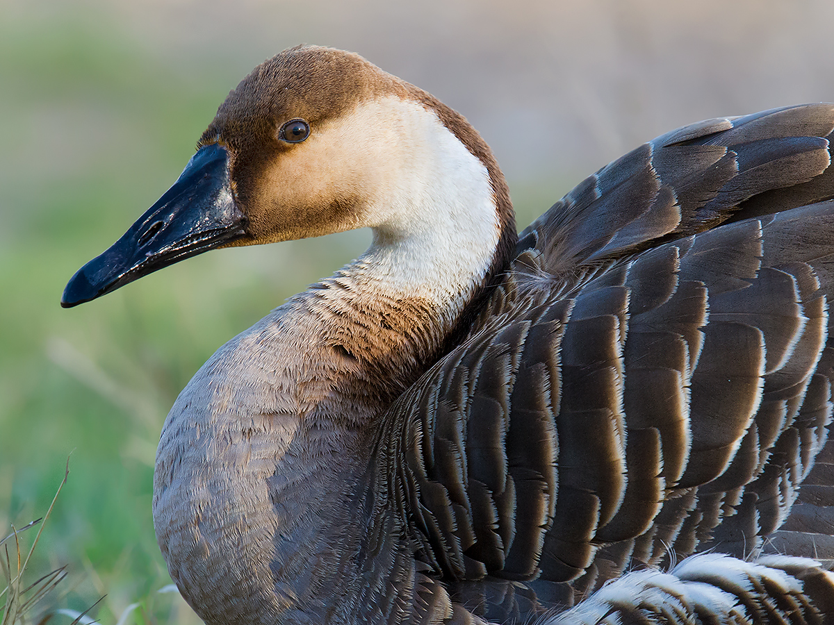 Semi-tame Swan Goose Anser cygnoides live on the grounds of Zhalong Nature Reserve. (Craig Brelsford)