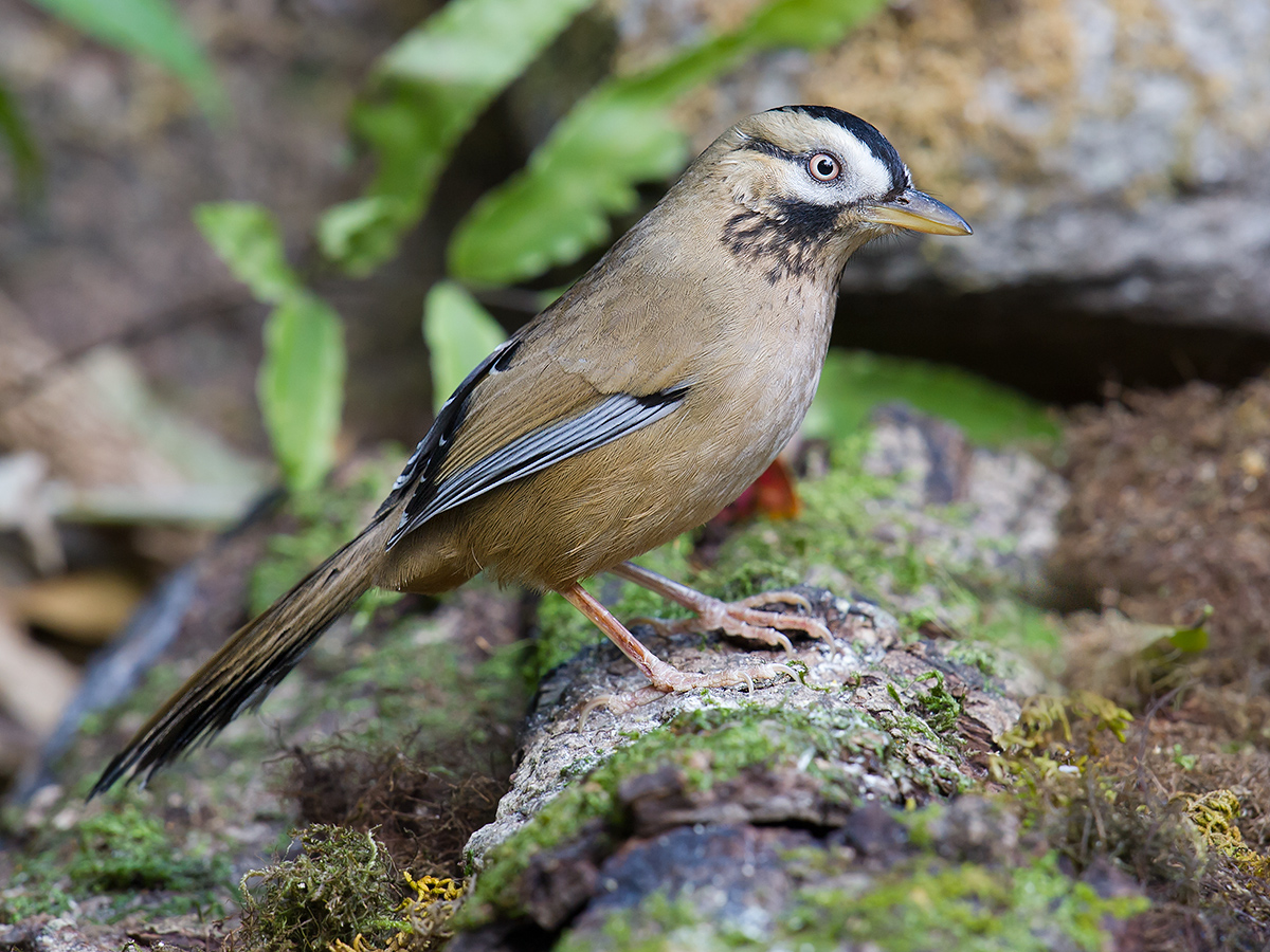 Moustached Laughingthrush, Baihualing, Yunnan, 12 Feb. 2014. (Craig Brelsford)
