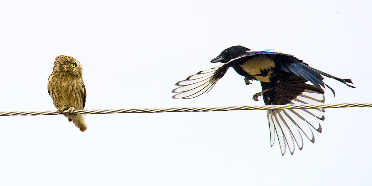 Little Owl being mobbed by Eurasian Magpie