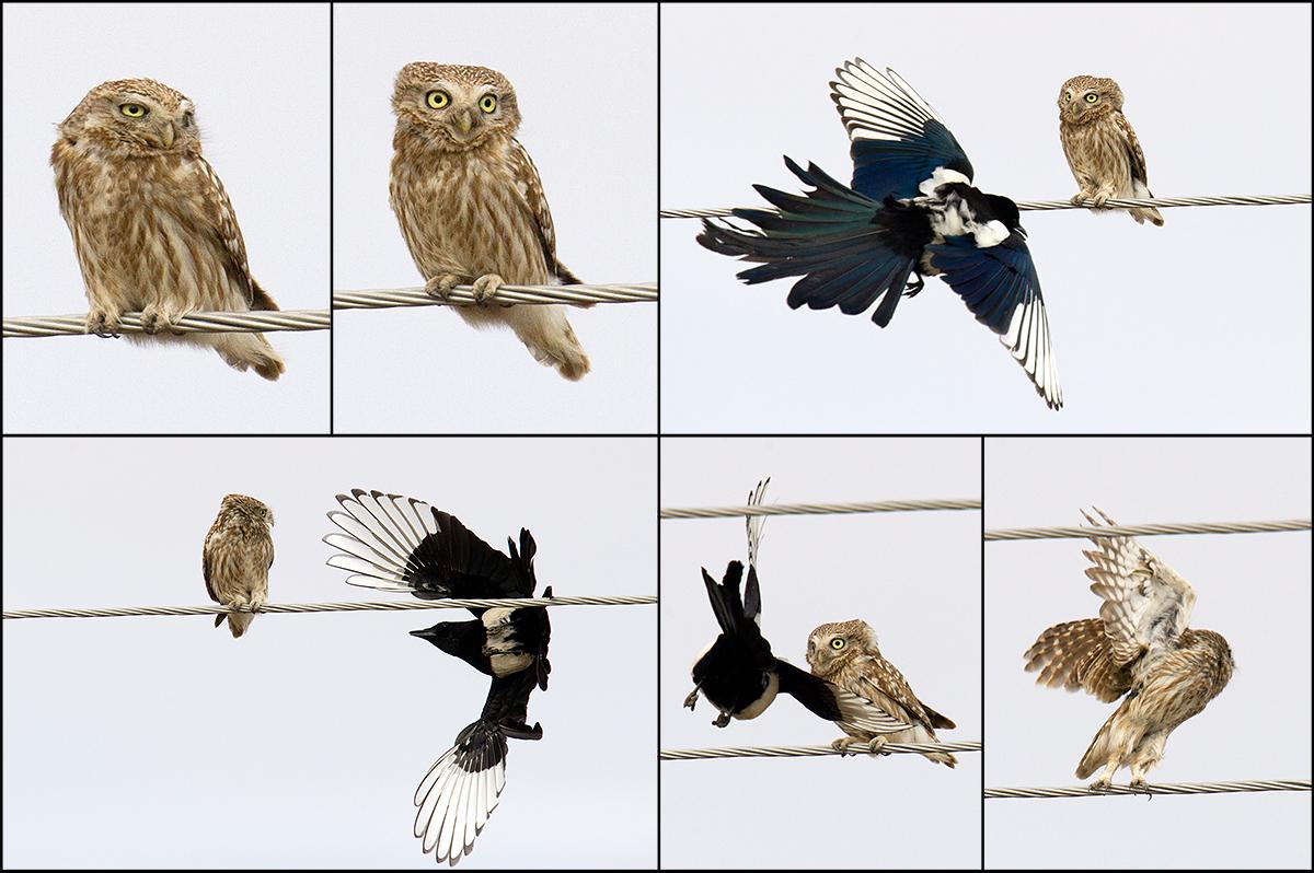 Owl vs. Magpie
