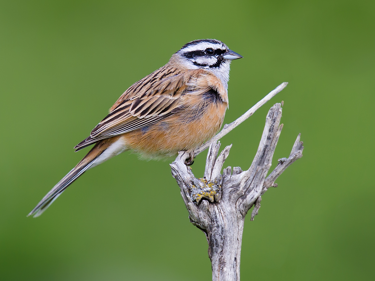 Rock Bunting Emberiza cia, Altai Mountains, 18 May 2012. (Craig Brelsford)