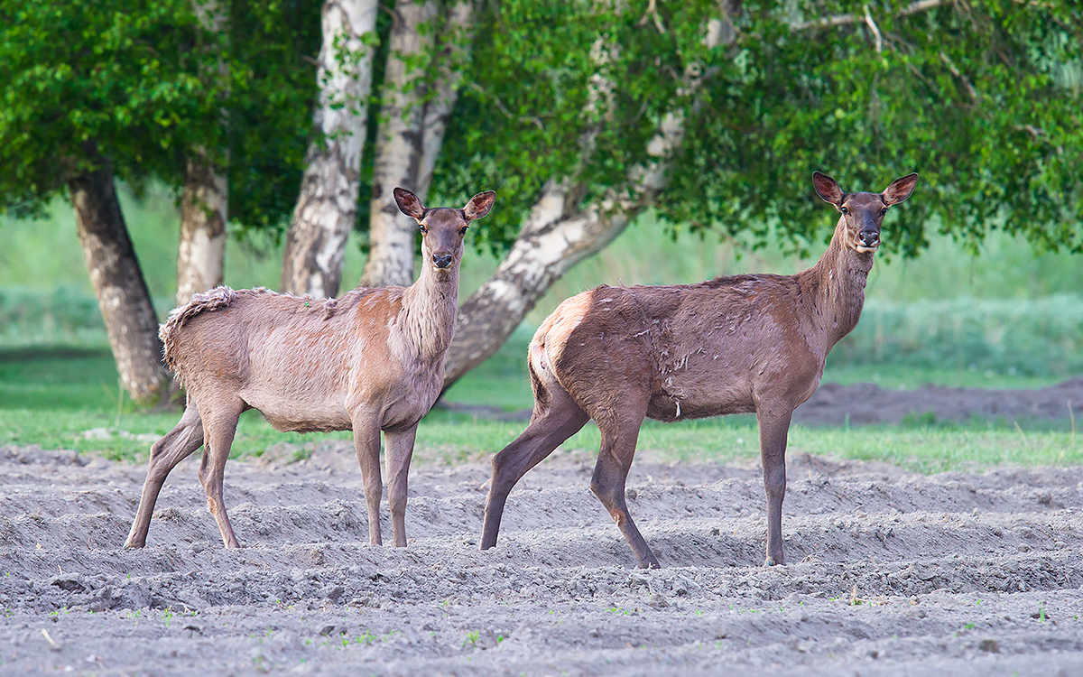 Red Deer, White Birch Forest Scenic Area, Xinjiang, 13 May 2012. (Craig Brelsford)