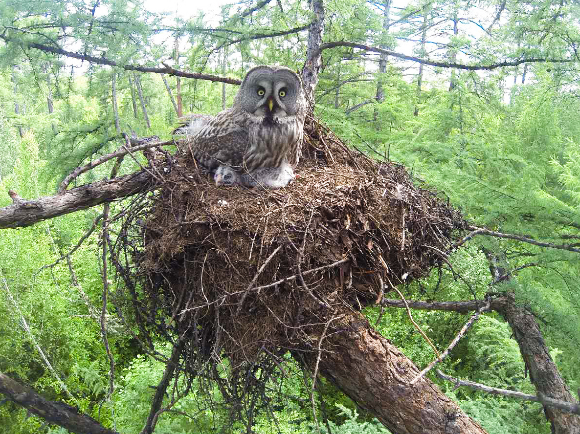 Li Ye took this shot of Great Grey Owl in its nest in the great larch forest of the Greater Khingan Range.