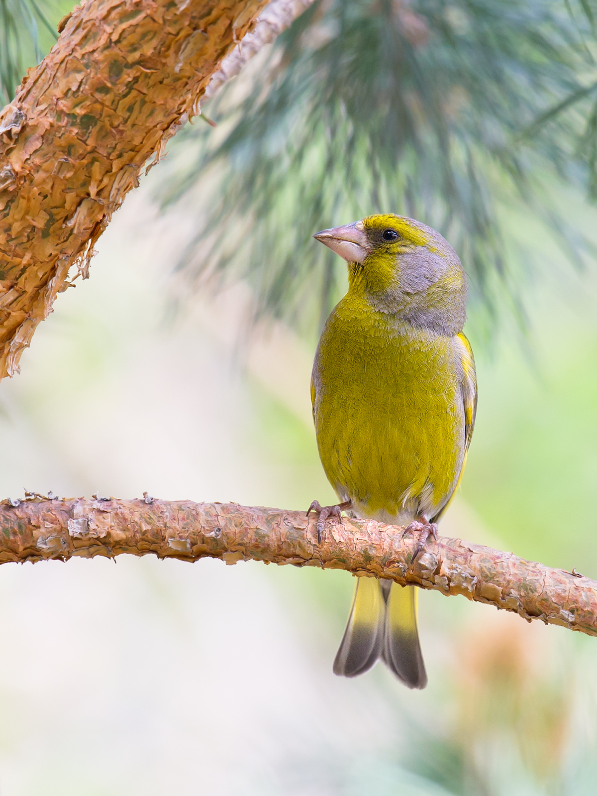 European Greenfinch, Burqin, Xinjiang, 18 May 2012. (Craig Brelsford)