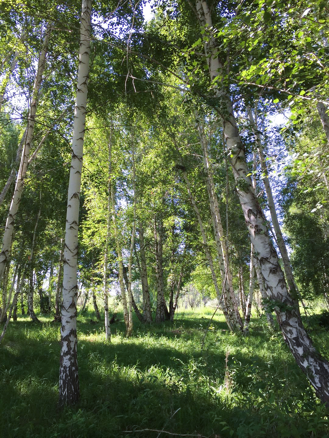 White Birch Forest Scenic Area, Xinjiang, 26 July 2017. (Jan-Erik Nilsén)