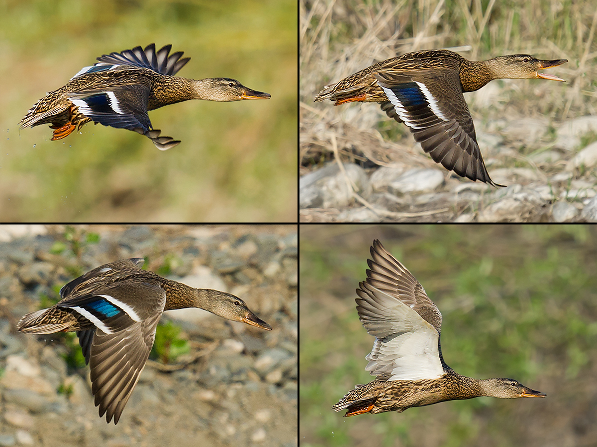 Mallard, White Birch Forest Scenic Area, Xinjiang, 14 May 2012. (Craig Brelsford)