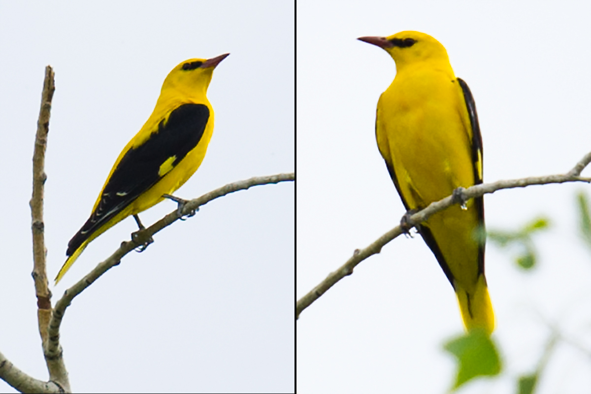 Eurasian Golden Oriole, White Birch Forest Scenic Area, Xinjiang, 15 May 2012. (Craig Brelsford)