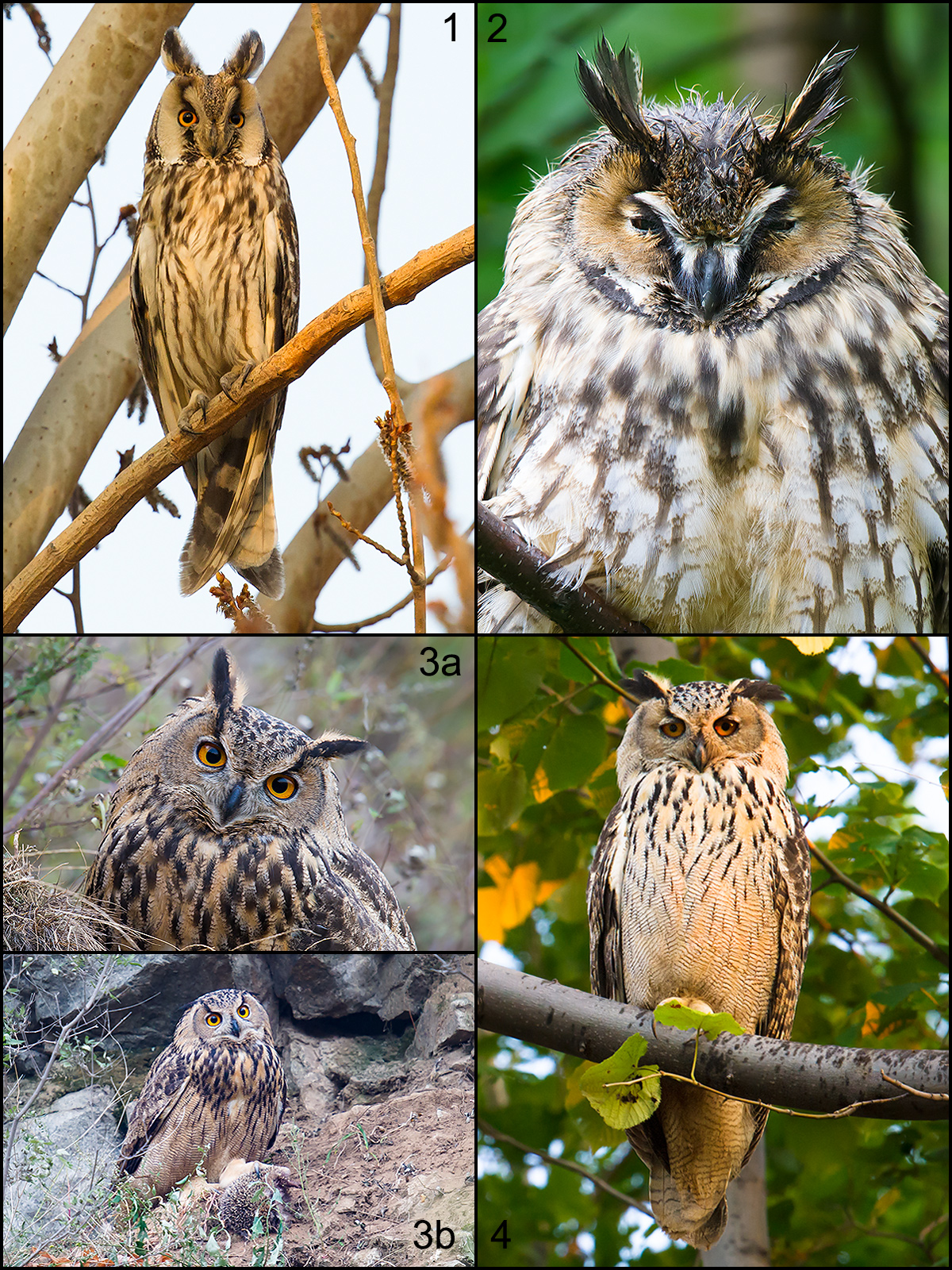 Long-eared Owl (1, 2) and Eurasian Eagle-Owl (3, 4) 'are brown with black streaky plumage, long ear tufts, and fearsome orange eyes,' MacKinnon writes. 'In summer these two owls hunt chipmunks and pikas in dense forest.' 1: Zhalong Reserve, Heilongjiang, May. 2: Xidaquan Forest, Heilongjiang, August. 3a, 3b: near Beidaihe, Hebei, September. 4: Dawucun, Boli, Heilongjiang, August. All by Craig Brelsford.