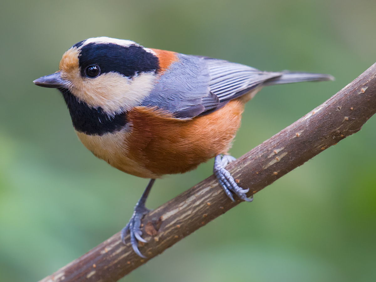 Varied Tit, Changfeng Park, 17 Nov. 2012. (Craig Brelsford)