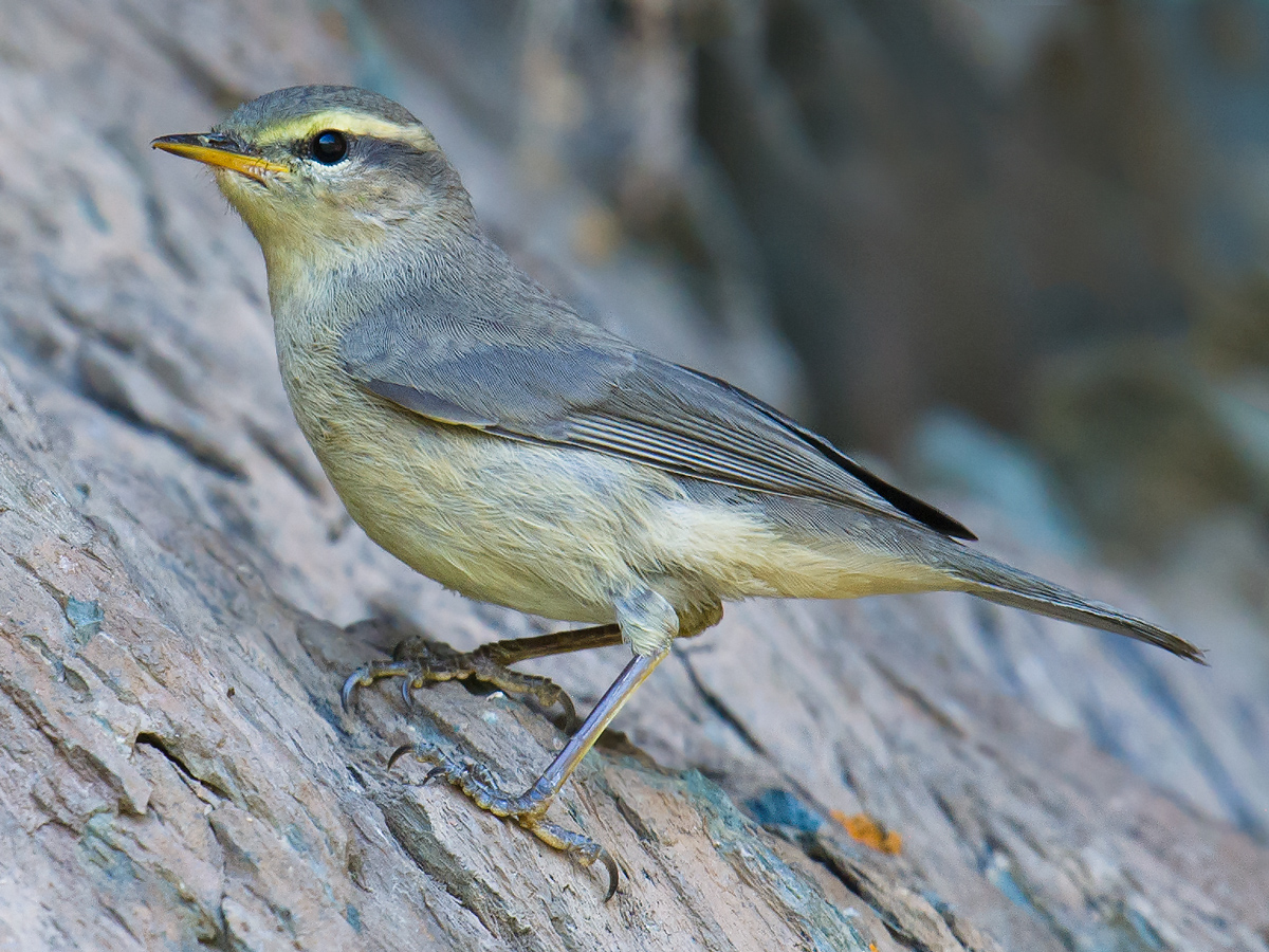 Sulphur-bellied Warbler Phylloscopus griseolus. © Craig Brelsford (craigbrelsford.com, shanghaibirding.com). 27 July 2017. Near Kanasi River in Kanasi Park, Xinjiang, China. Photo taken at a rock face at 48.702008, 86.997155. Elev. 1420 m.
