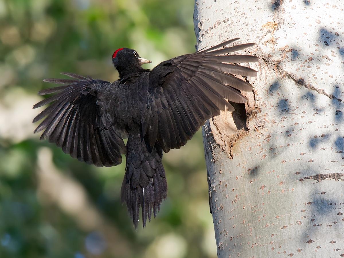 Black Woodpecker Dryocopus martius, Burqin Magic Forest, 9 May 2012. (Craig Brelsford)