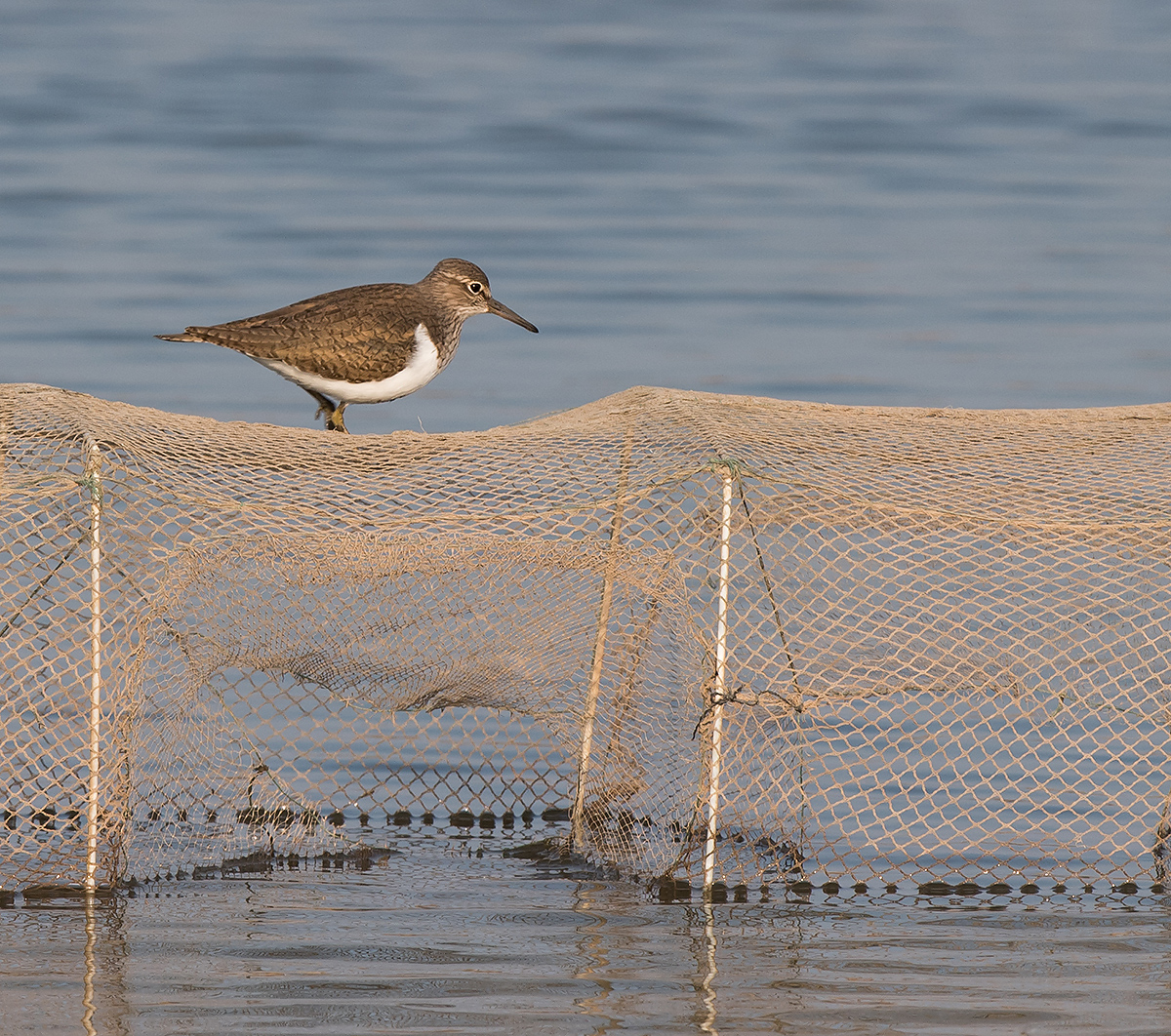 Common Sandpiper, Cape Nanhui, Shanghai, China, 2017. (Kai Pflug)