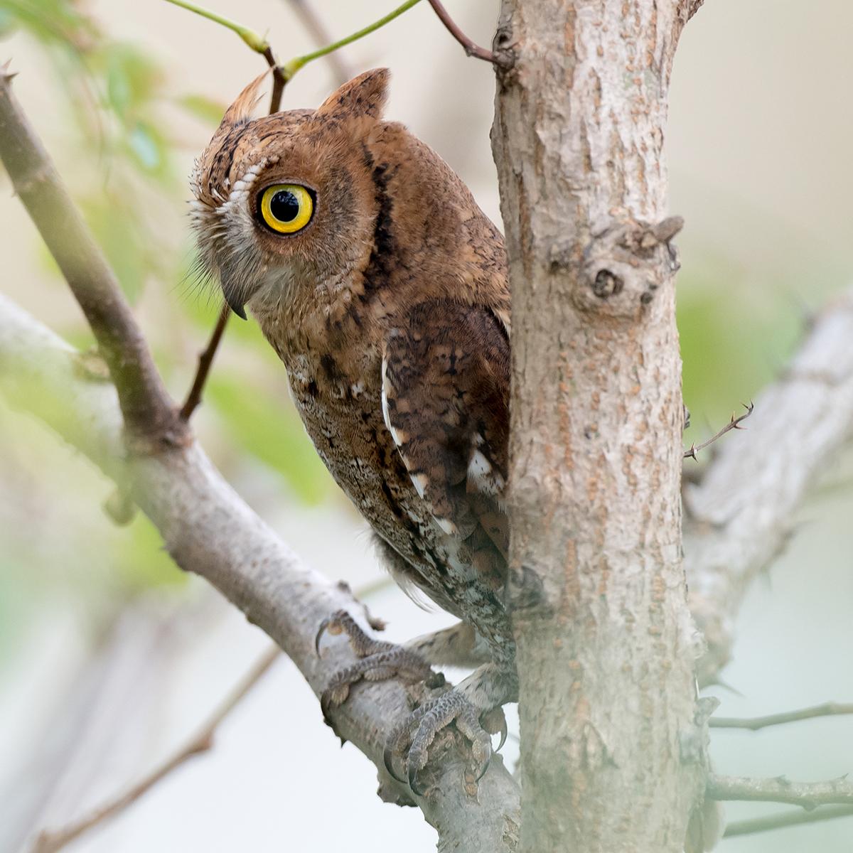 Oriental Scops Owl, Cape Nanhui, Shanghai, China, 2017. (Kai Pflug)