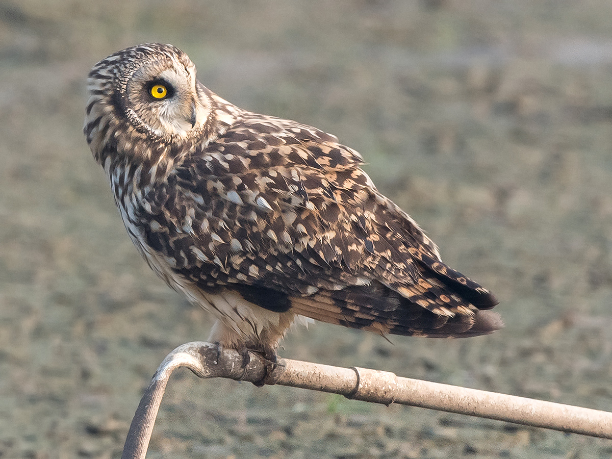 Short-eared Owl, Cape Nanhui, Shanghai, China, January 2017. (Kai Pflug)