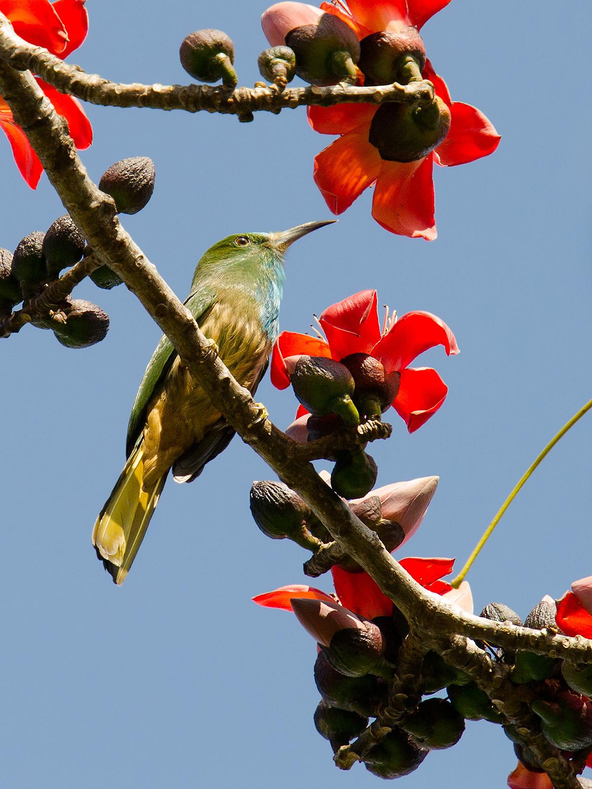 Blue-bearded Bee-eater, 3 on Nabang-Xima Trail, Nabang (670 m) on 2014-01-20. (Craig Brelsford)