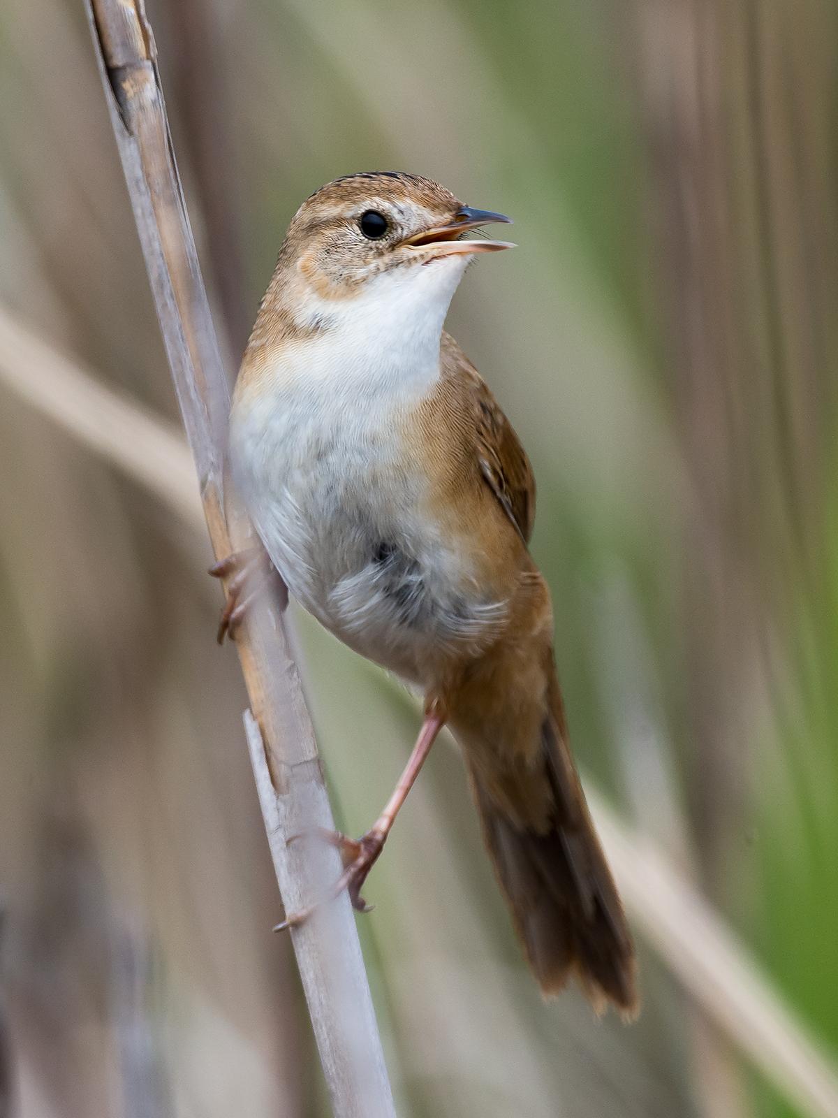 Marsh Grassbird Helopsaltes pryeri sinensis, Cape Nanhui, April 2018. (Kai Pflug)