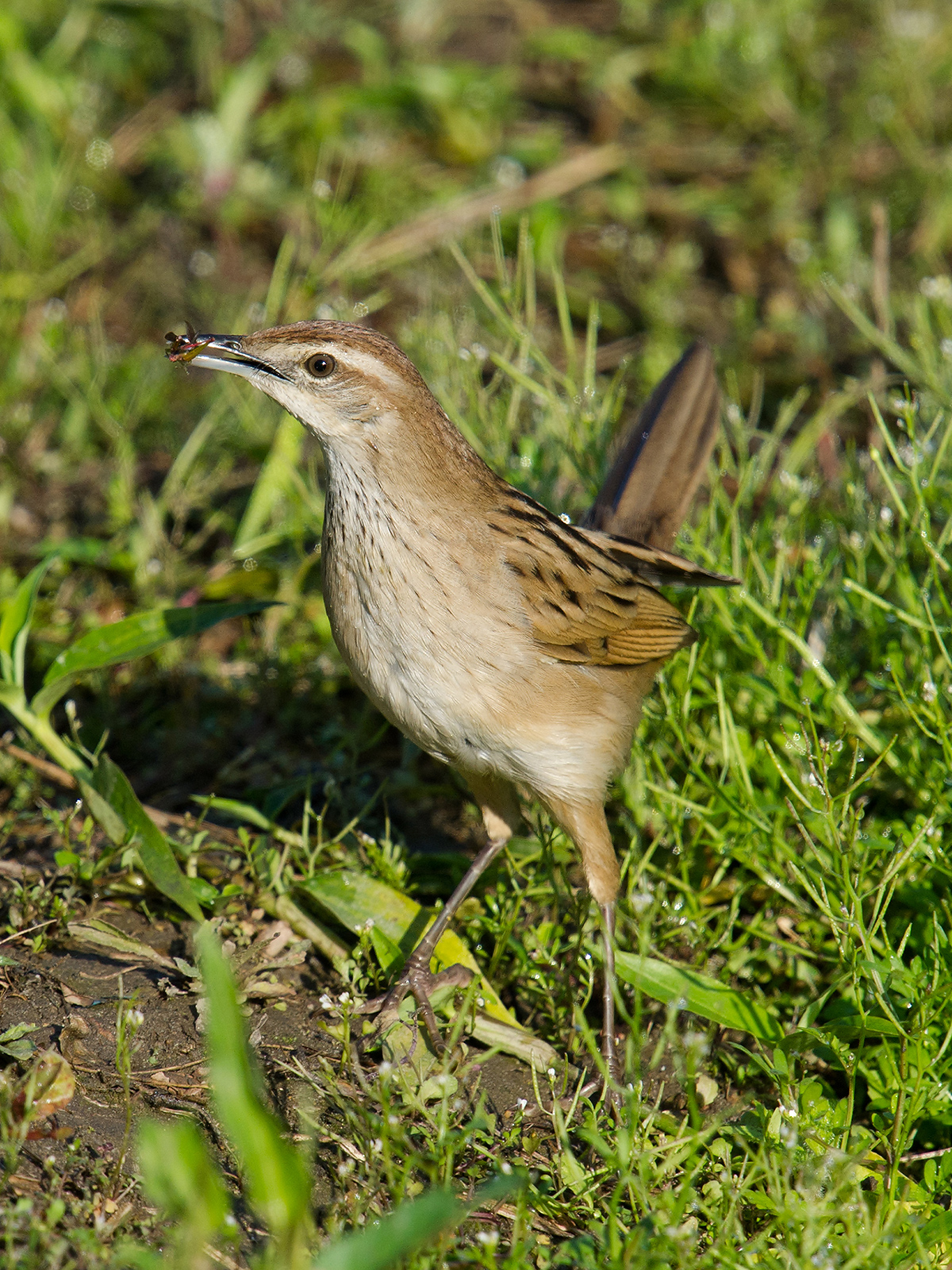 Striated Grassbird. (Craig Brelsford)