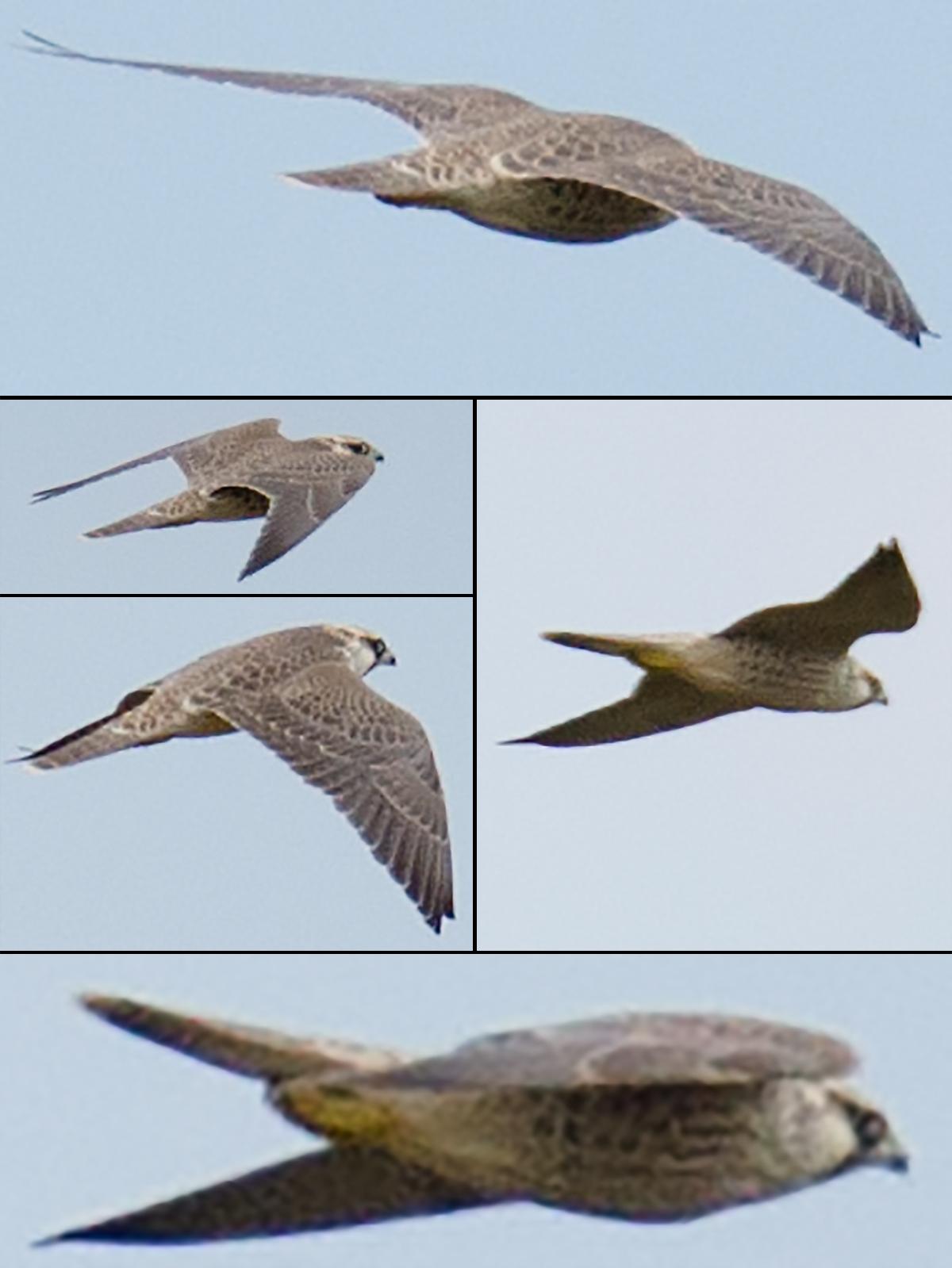 Saker Falcon Falco cherrug, Xinjiang, July 2017. (Craig Brelsford)