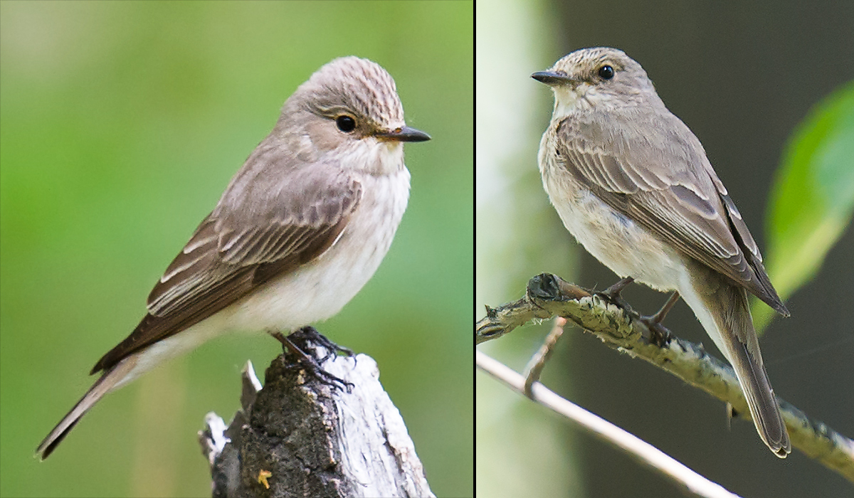 Spotted Flycatcher, Xinjiang. L: May 2012. R: July 2017. (Craig Brelsford)