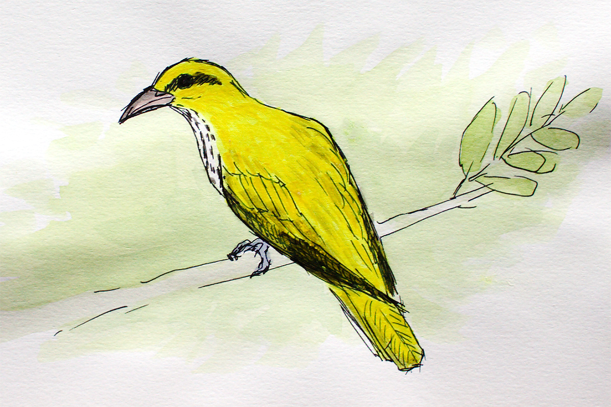 Black-naped Oriole Oriolus chinensis, juvenile, aquarelle and black ink. Observed by 12 Sept. 2017 at Cape Nanhui. Special thanks to Kai Pflug for the picture that served as a visual aid for the painting. (Louis-Jean Germain)