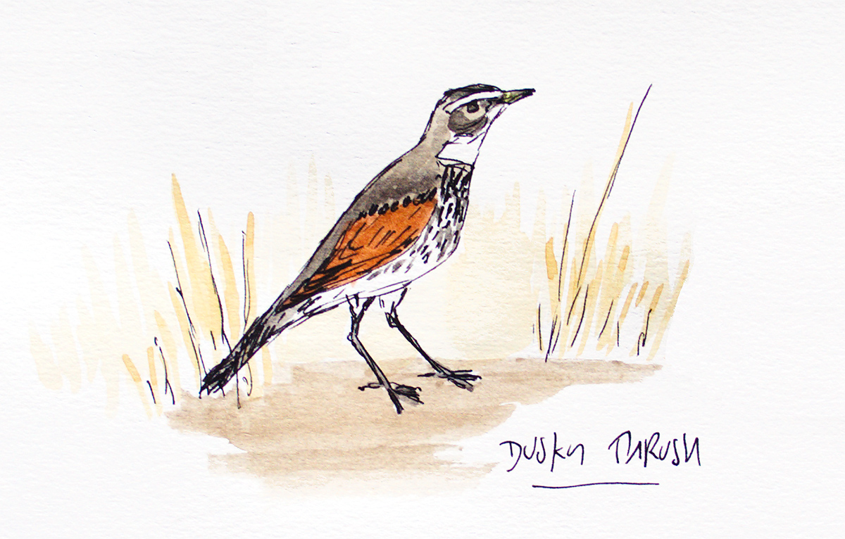 Dusky Thrush Turdus eunomus, aquarelle and black ink. Observed 7 Feb. 2018 at Cape Nanhui. (Louis-Jean Germain)