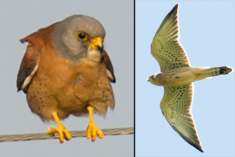 Lesser Kestrel Falco naumanni. L: male, May 2012. R: female, July 2017. Both Xinjiang. (Craig Brelsford)