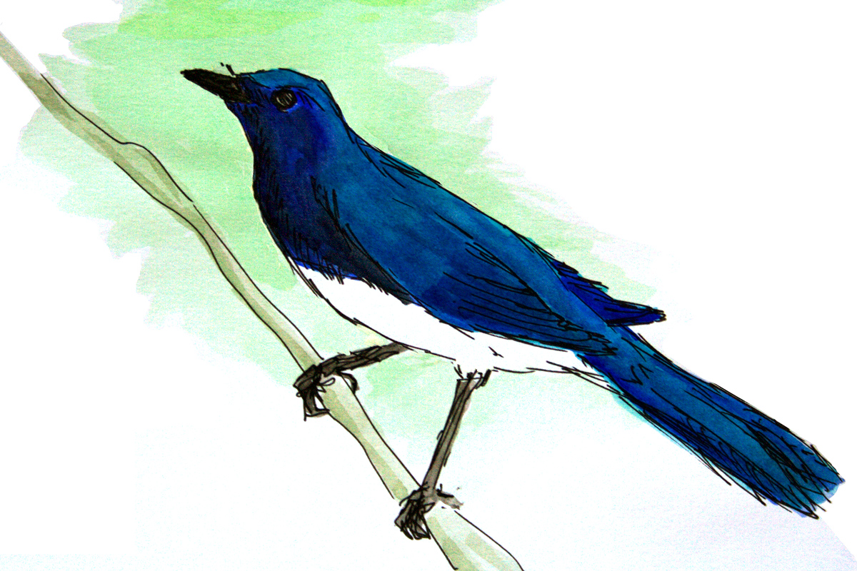 Blue-and-white Flycatcher Cyanoptila cyanomelana, aquarelle and black ink. Observed 8 Sept. 2017 at Cape Nanhui. (Louis-Jean Germain)