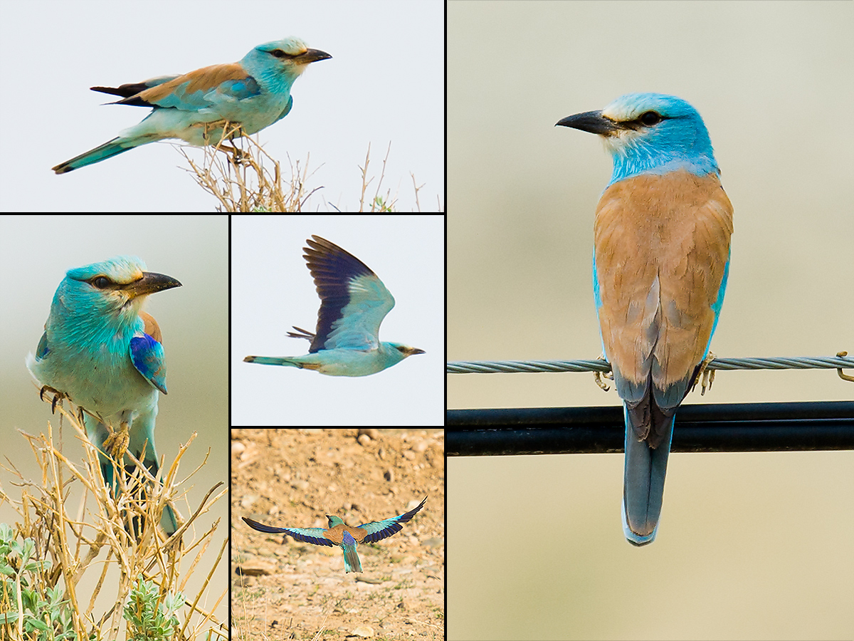 European Roller, Xinjiang, May 2012. (Craig Brelsford)
