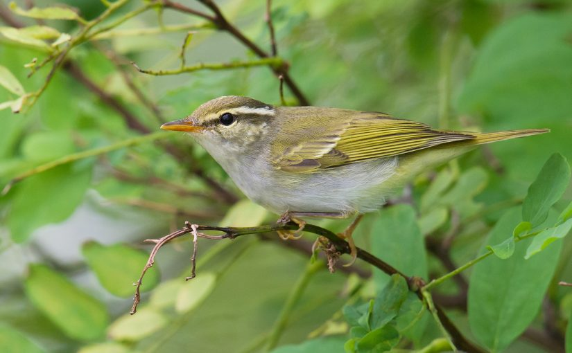 Eastern Crowned Warbler Singing in Shanghai