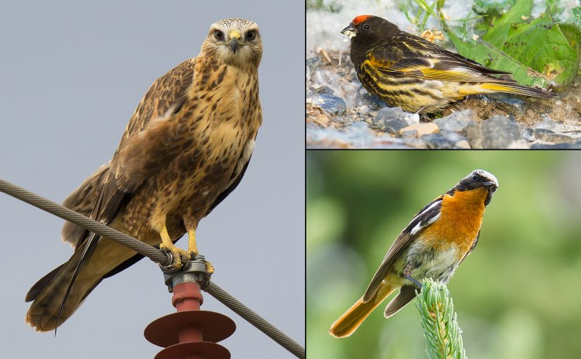 Among the key birds of our Xinjiang 2017 trip were (clockwise from L) Long-legged Buzzard, Red-fronted Serin, and Eversmann's Redstart. (Craig Brelsford)
