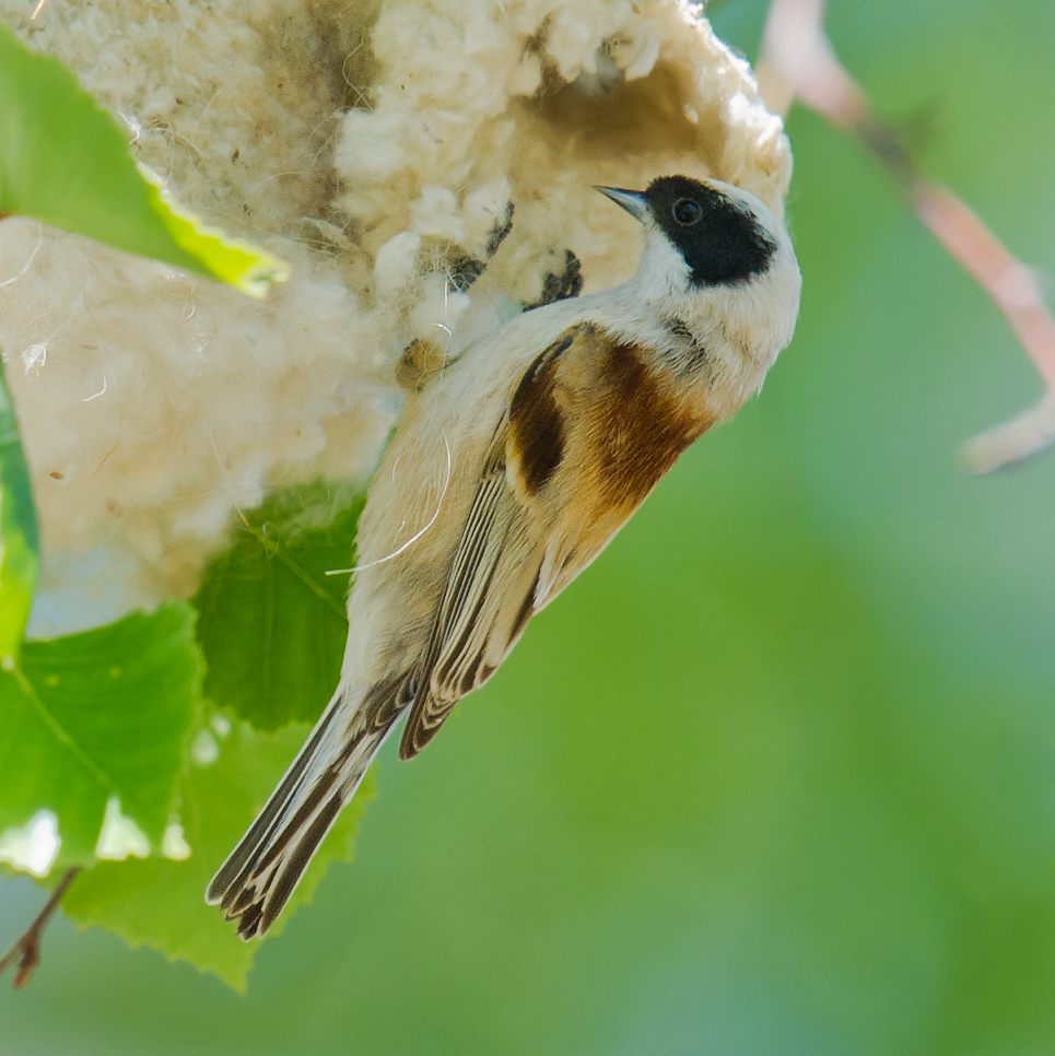 White-crowned Penduline Tit, Xinjiang, May 2012. (Craig Brelsford)