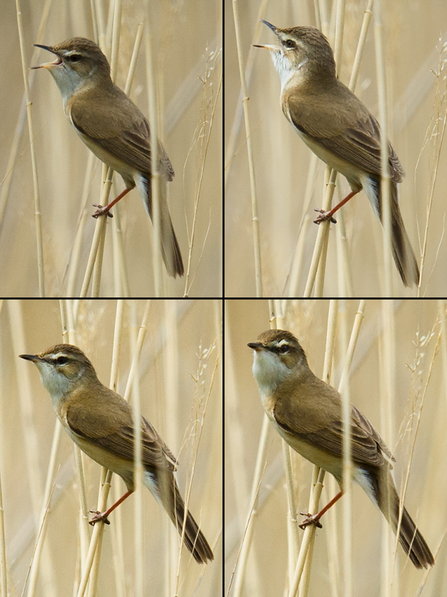 Paddyfield Warbler, Xinjiang, May 2012. (Craig Brelsford)