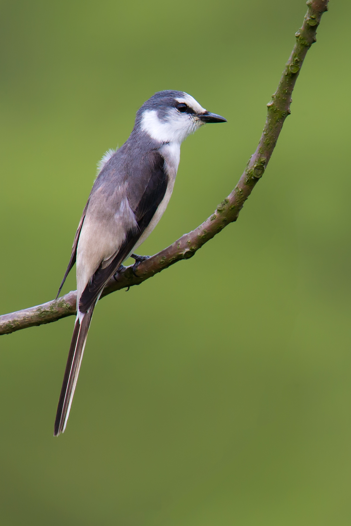 Swinhoe's Minivet, Nantianmu, May 2015. (Craig Brelsford)