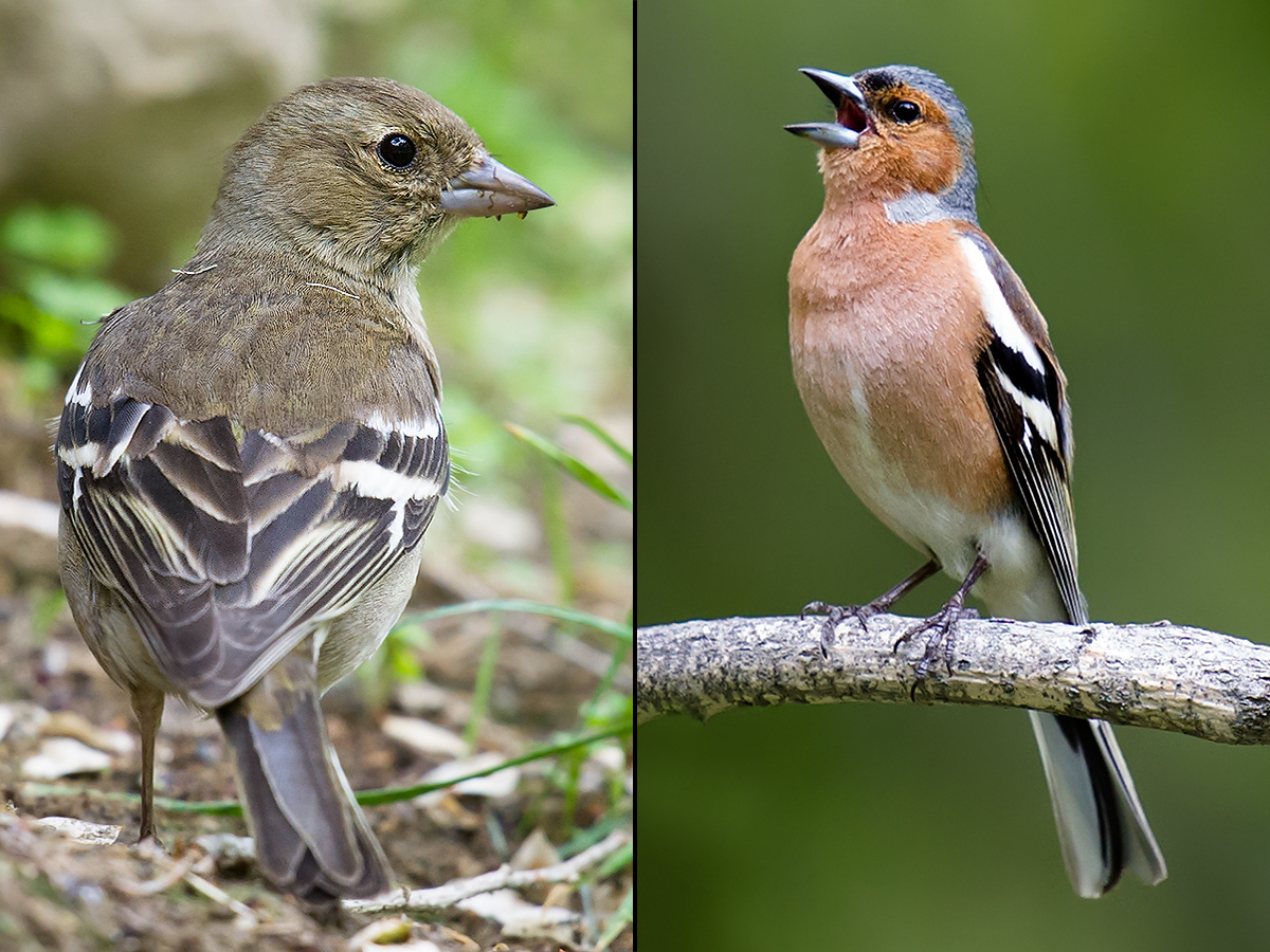 Chaffinch, Hualin Park, Altai City, Xinjiang, 18 May 2012. (Craig Brelsford)