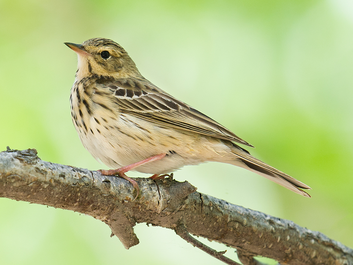 Tree Pipit, White Birch Forest Scenic Area, Xinjiang, 9 May 2012. (Craig Brelsford)