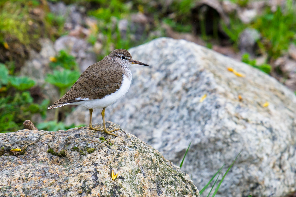 Common Sandpiper, Xiaodong Gulch, Altai Mountains, Xinjiang, 18 May 2012. (Craig Brelsford)