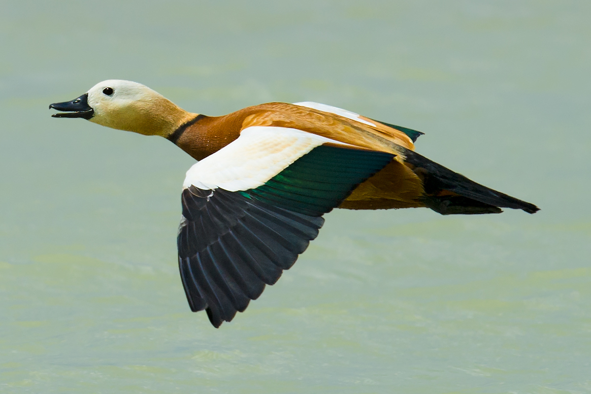 Ruddy Shelduck, northern Jungar Basin, Xinjiang, 16 May 2012. (Craig Brelsford)