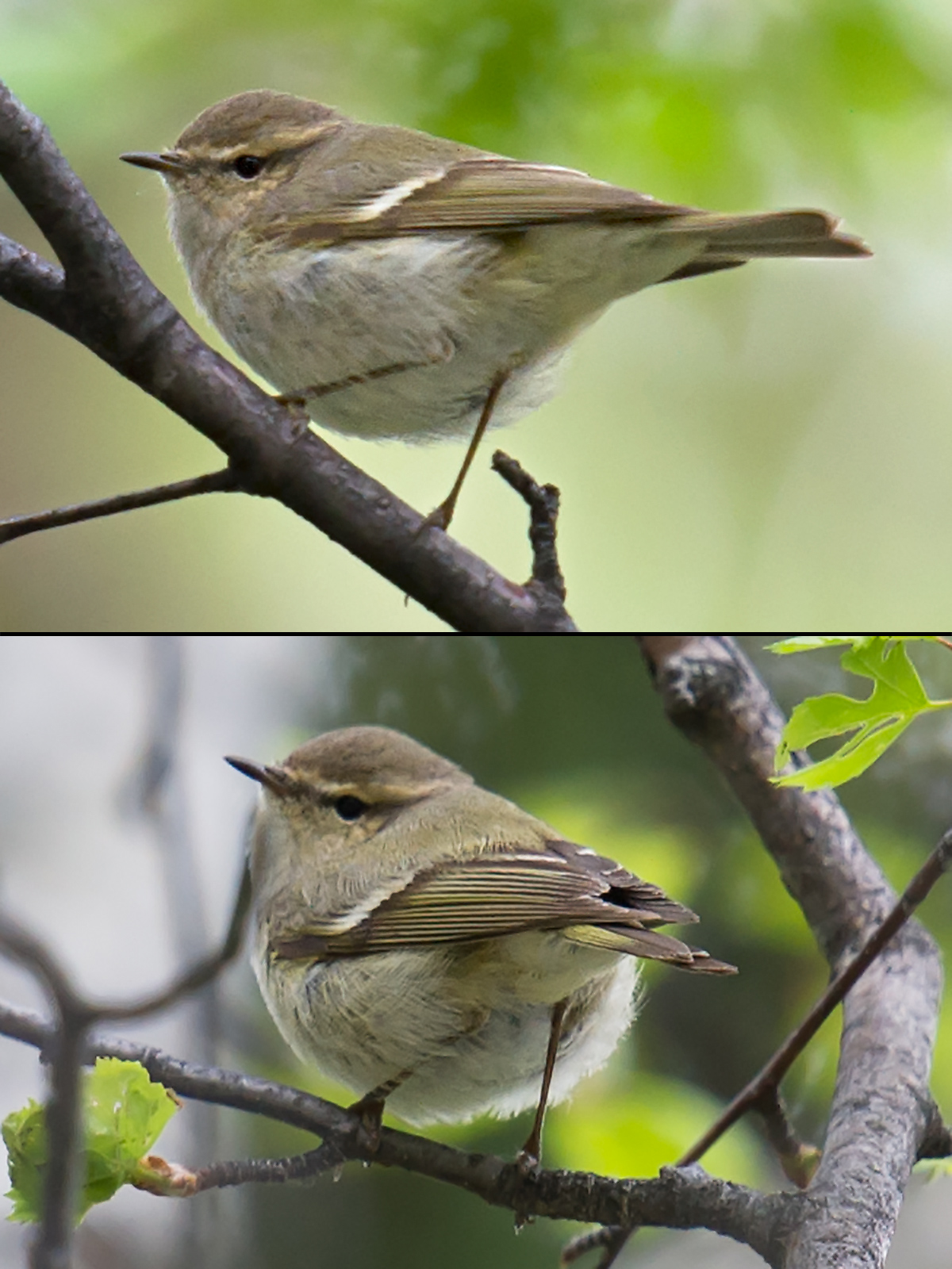 Hume's Leaf Warbler, Altai Mountains, Xinjiang, 18 May 2012. (Craig Brelsford)
