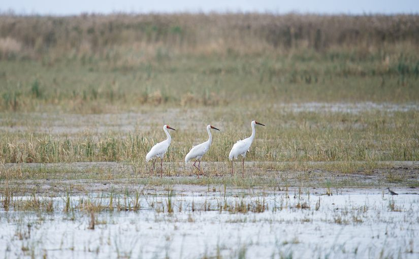 Siberian Crane at the newly reclaimed extension of Hengsha Island, Nov. 2016. (Craig Brelsford)