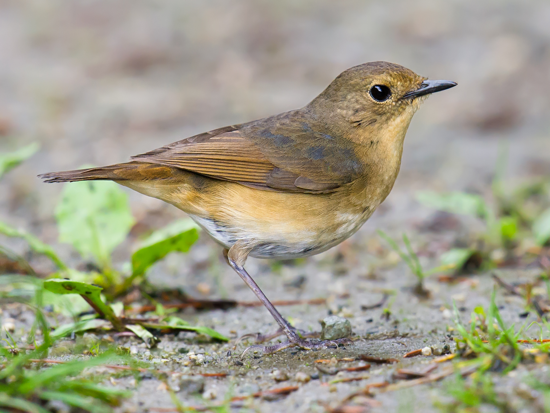 Firethroat, adult female. (Craig Brelsford)