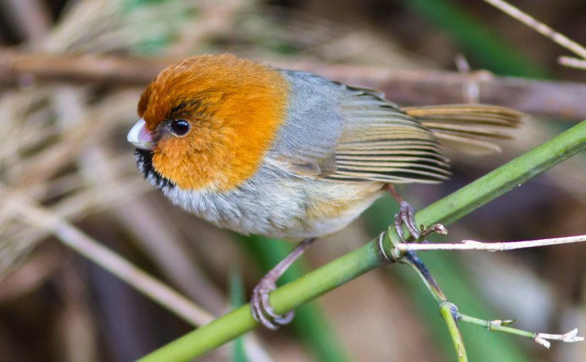 Short-tailed Parrotbill (Paul Hyde)