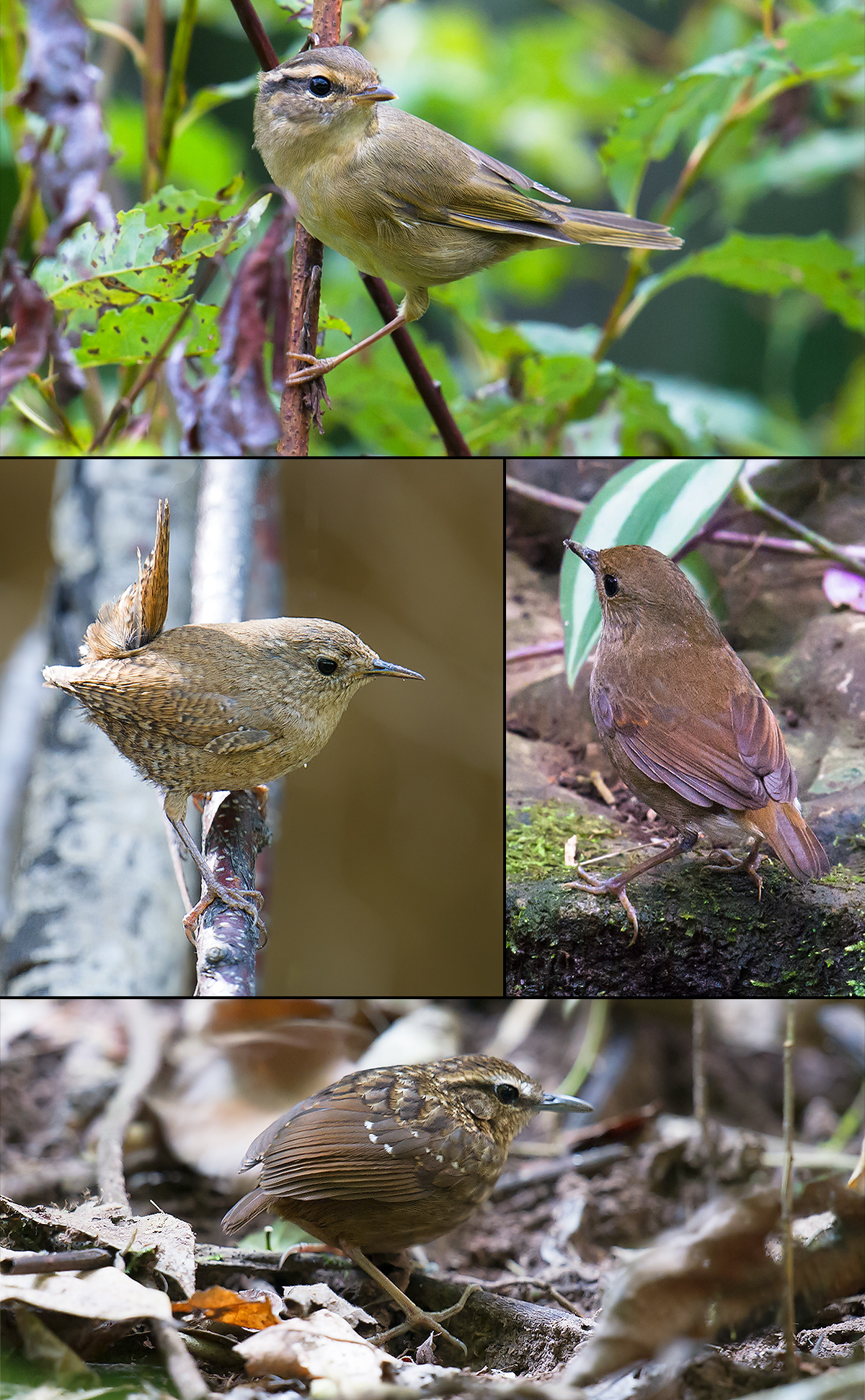 Species similar to Asian Stubtail. Clockwise from top: Radde's Warbler, Lesser Shortwing Eyebrowed Wren-Babbler, Eurasian Wren. (Craig Brelsford)