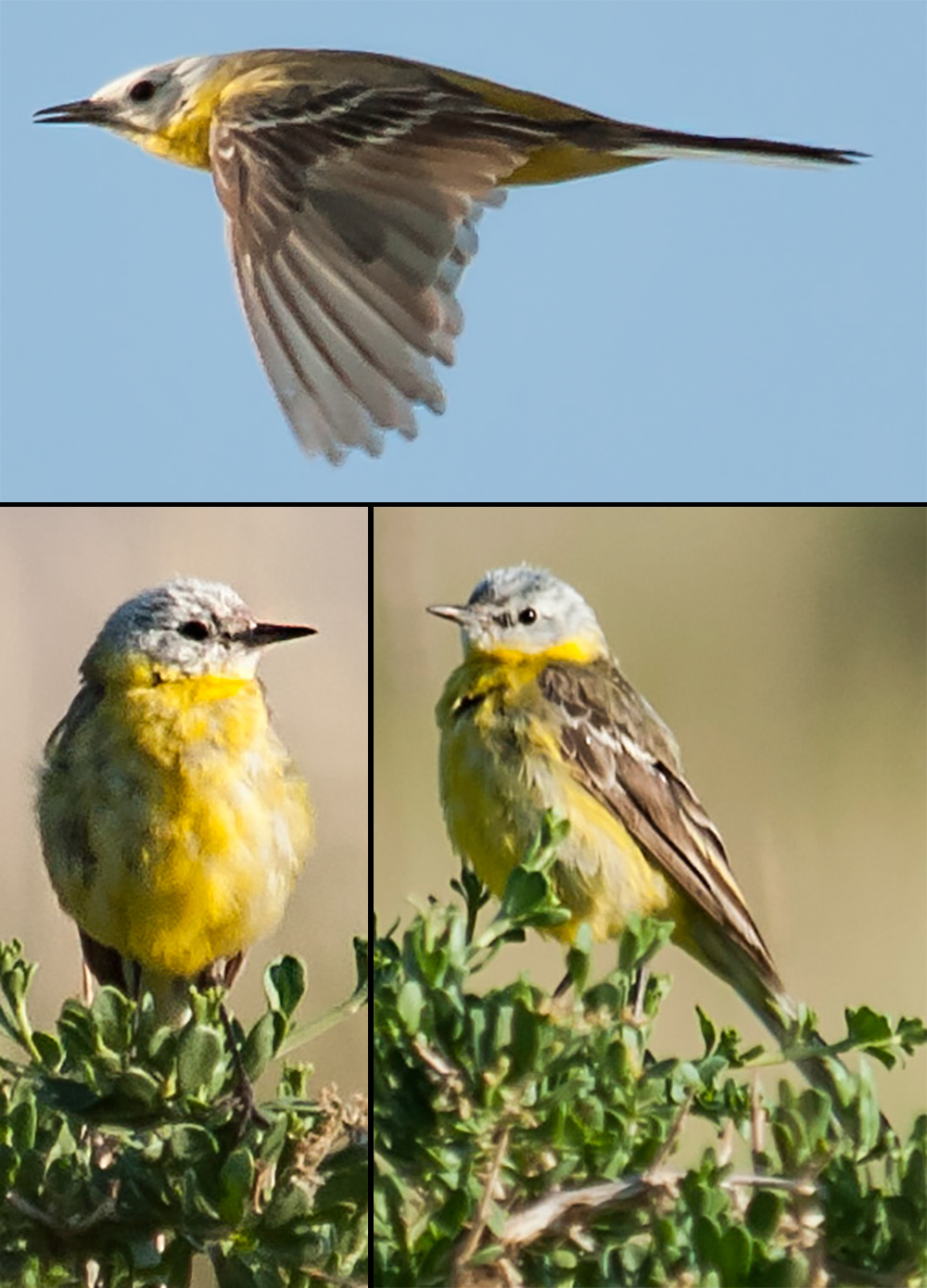 White-headed Yellow Wagtail (Gombobaatar Sundev)