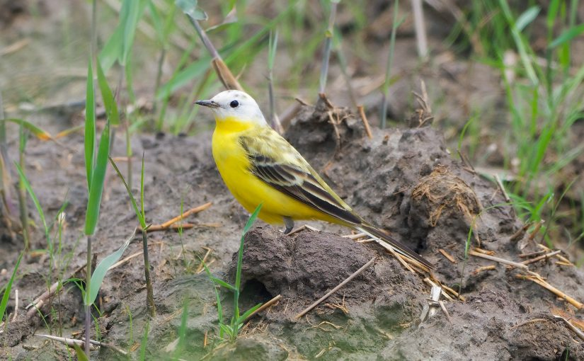 Mysterious Yellow Wagtail at Cape Nanhui, Shanghai