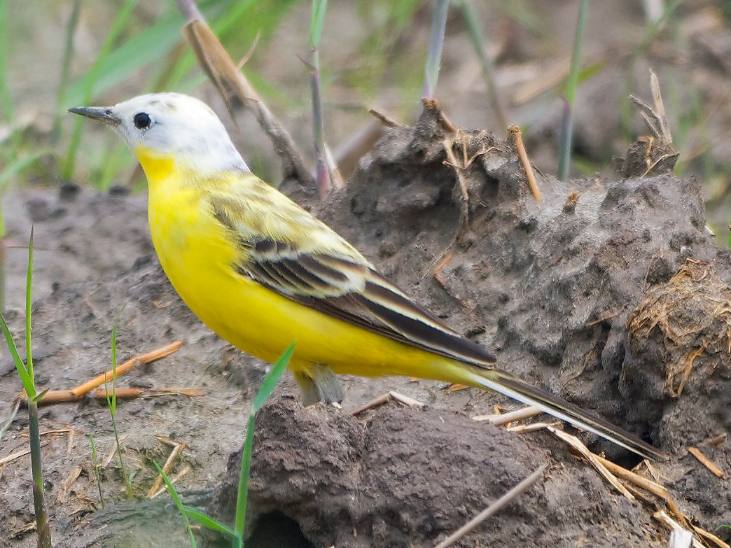 Possible Western Yellow Wagtail Motacilla flava leucocephala, Cape Nanhui, Shanghai, 1 May 2019. (Haiming Zhao)